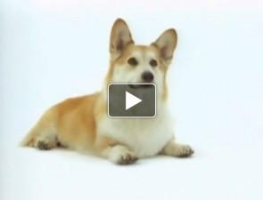 Welsh-Corgi-tortenete-kutyas-video