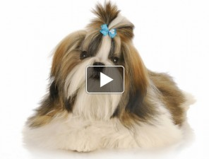 Shihtzu-tortenete-kutyas-video