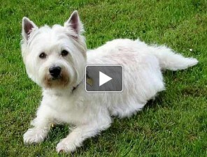 West-highland-terrier-tortenete-kutyas-video