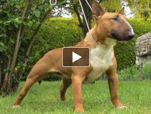 bull-terrier-es-a-labda-kutyas-video