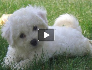 Bichon-Frise-tortenete-kutyas-video