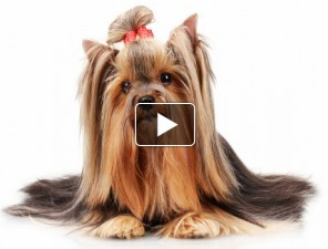 Yorkshire-Terrier-tortenete-kutyas-video