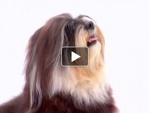 havanese-tortenete-kutyas-video